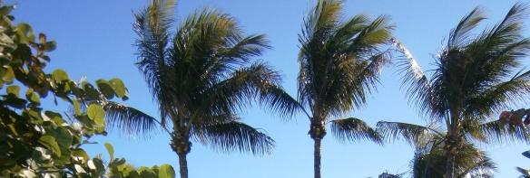 plam trees wind