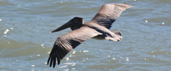 pelican four