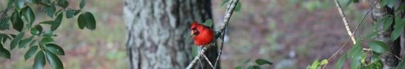 Cardinal 005