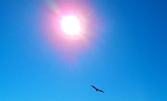 pelican under the sun